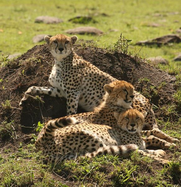 Our best and most exciting cheetah sighting!! This was a mother with her two teenage cubs.