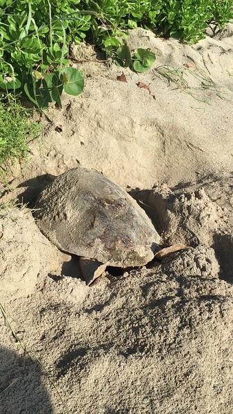 Hawksbill Sea Turtle Laying Eggs