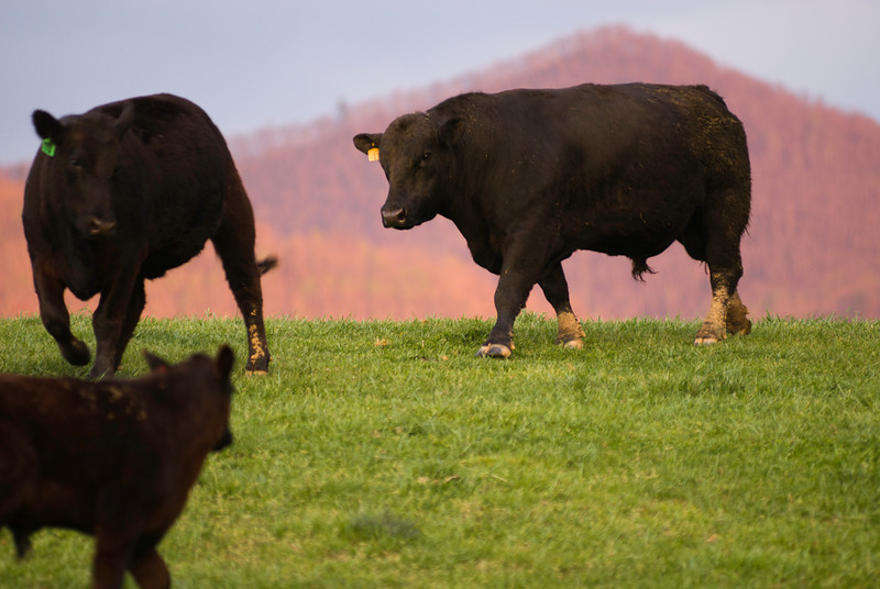 The Bull - He's looking for some cow love.  Do you think he's bothered by my prying eyes?