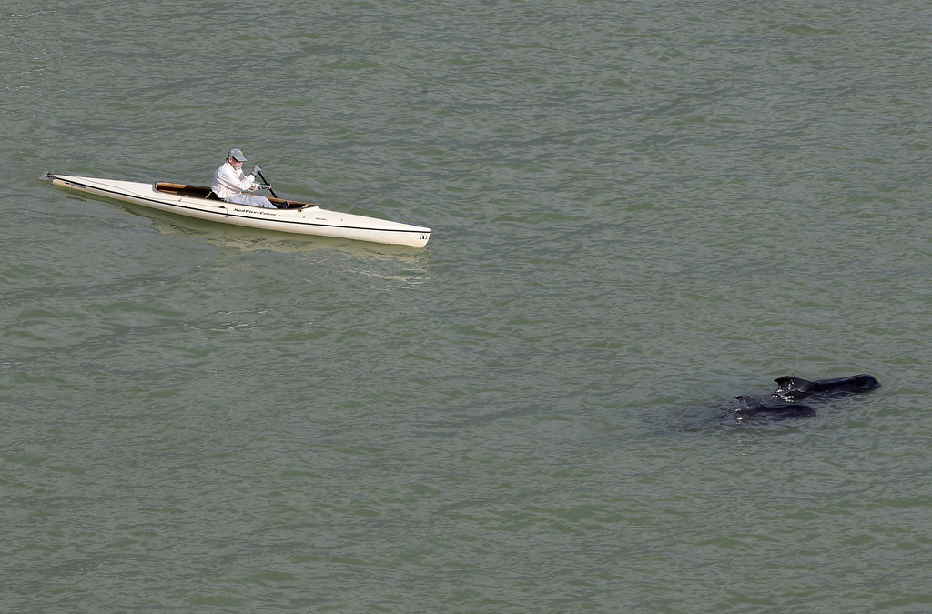 . A man paddles a kayak past two pilot whales in a remote area of Florida\'s Everglades National Park, Wednesday, Dec. 4, 2013. Federal officials say 10 of the dozens of whales stranded in Florida\'s Everglades National Park are now dead. (AP Photo/Lynne Sladky)