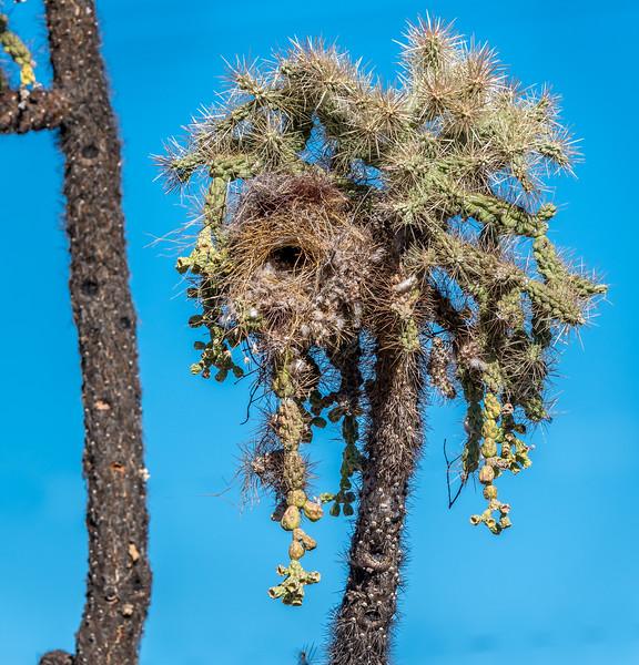 Cactus Wren Nest in Cholla