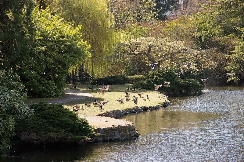 Canada Geese Beacon Hill Park