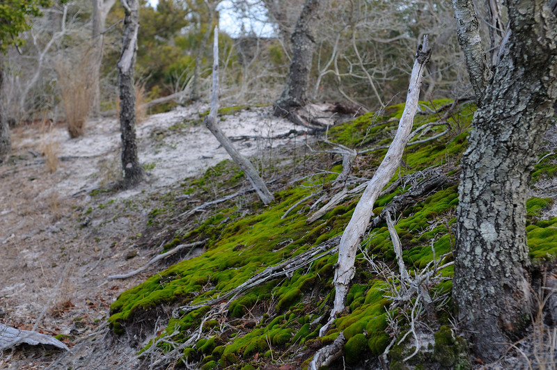 "For as long as I have been hiking the island this patch of moss has been growing on the sand ""dune"" in back of the lodge.....only green around in the winter!"