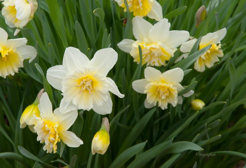 April 8_Daffodil Cluster_1062.jpg