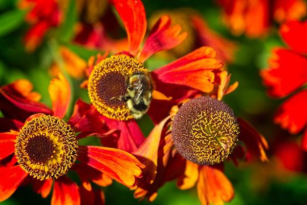 Coneflower Pollination