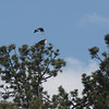 Magpie Fly-by