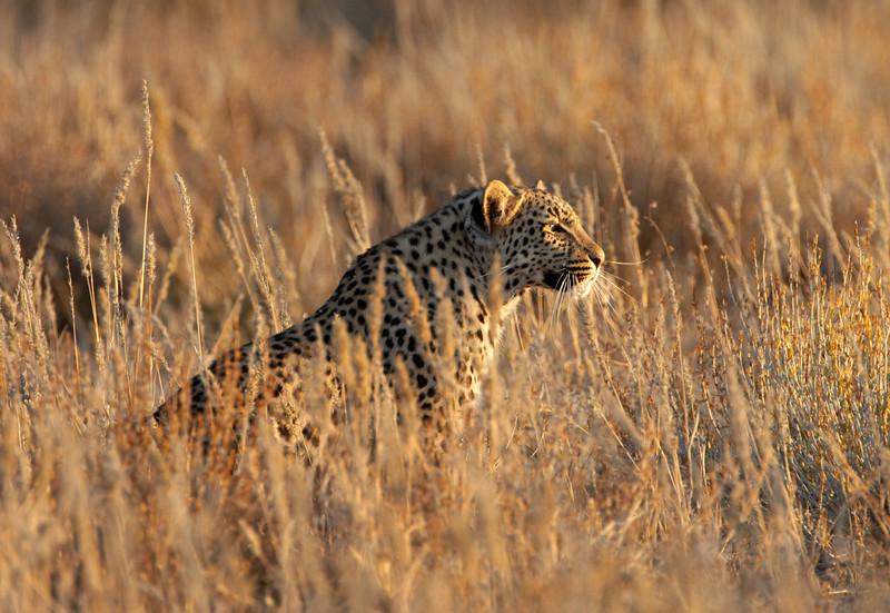 Leopard -1880.jpg