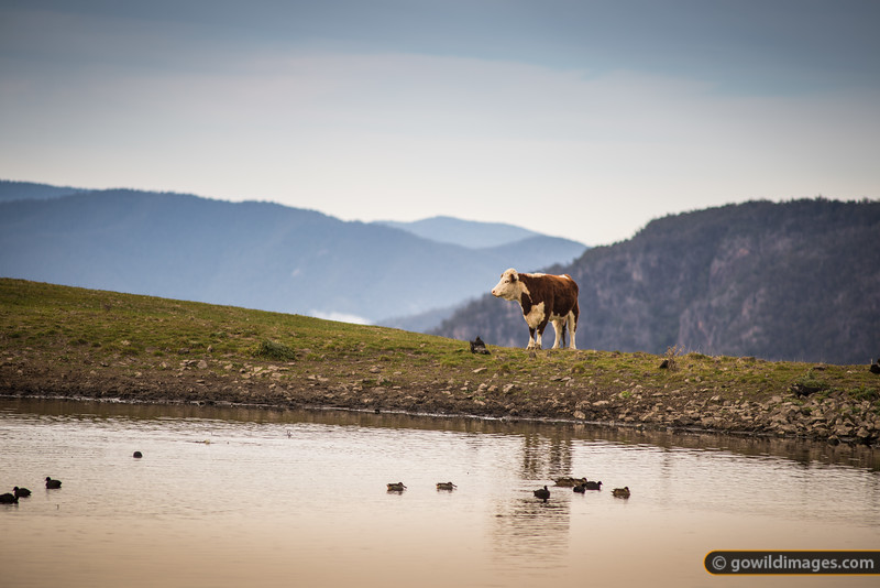 Hereford beef cow seems to pause to enjoy this peaceful morning scene on the edge of Snowy River NP