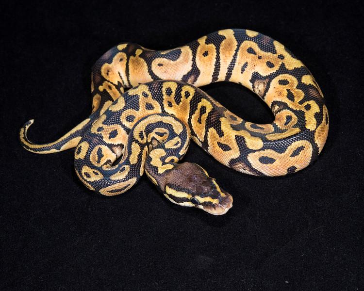 Pastel F0514, Sold Tulsa Reptile show