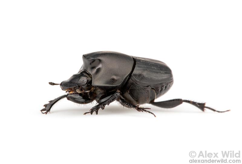 Onthophagus binodis