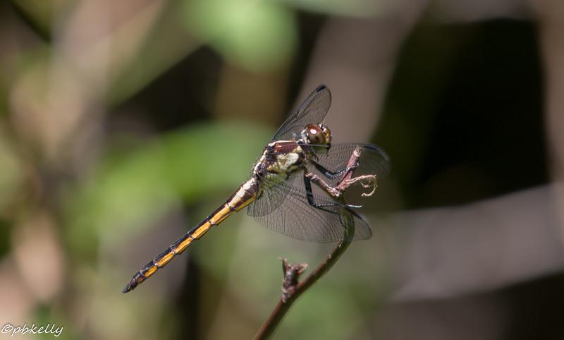 6/18/15.  Female Slaty Skimmer.
