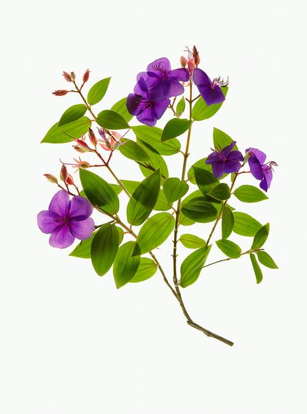 PurpleV1.jpg