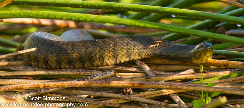Florida Green Watersnake