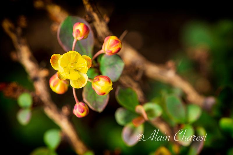 Berberis Fleur