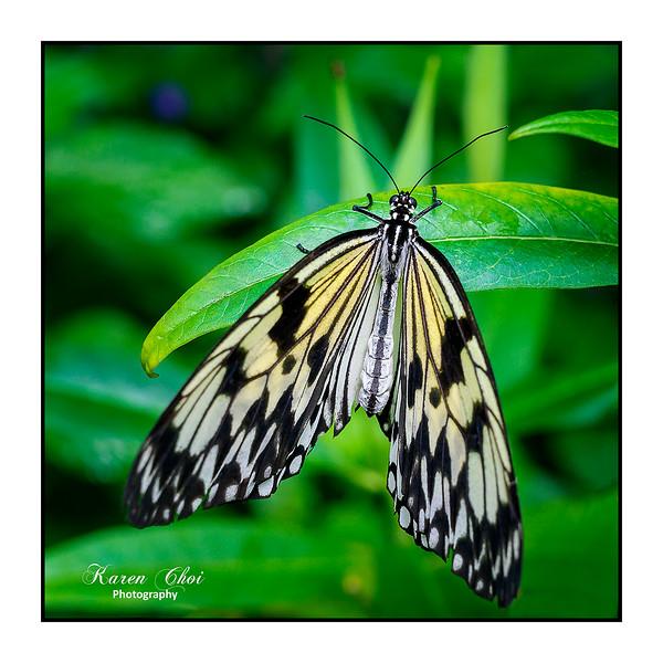 sm white yellow black butterfly.jpg