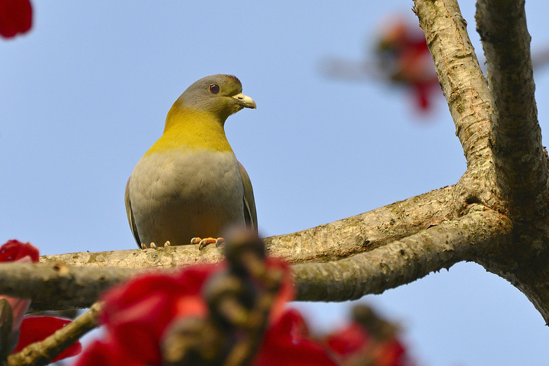 Yellow-footed-green-pigeon.jpg