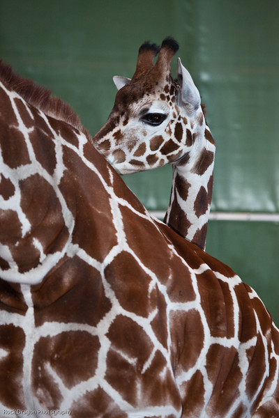 Baby Reticulated Giraffee and it's mother, Calgary Zoo Dec. 23