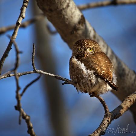Owl105