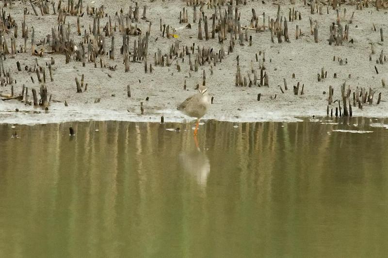 Spotted Redshank at Mai Po, Hong Kong, China (11-8-08).psd