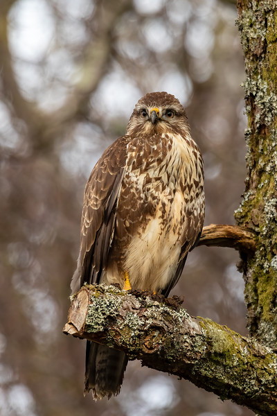 Wildlife Photography - Common Buzzard