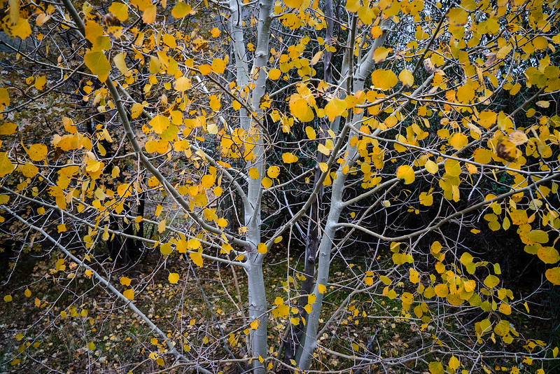 San_Bernardino_Mountains_Aspen_Fall_Color_DSC3294.jpg