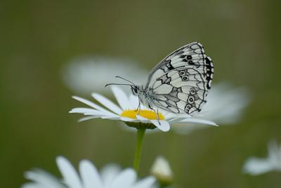 HWT Butterflies