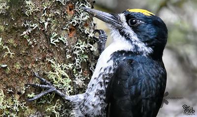 Black Backed Woodpecker_2018-05-21