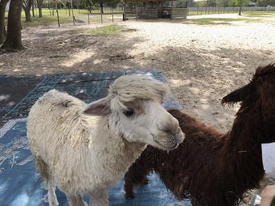 LunaSea Alpaca Farms, Clermont, FL (2)