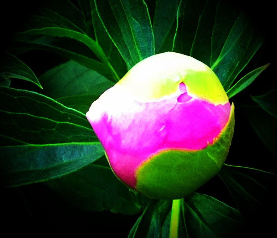 ". ""Peony Pop\"" - Mark Young overexposed a peony bud�s shocking colors for what could have been a photo flaw, except the results were beautifully Warhol-esque.  Photo by Mark Young"