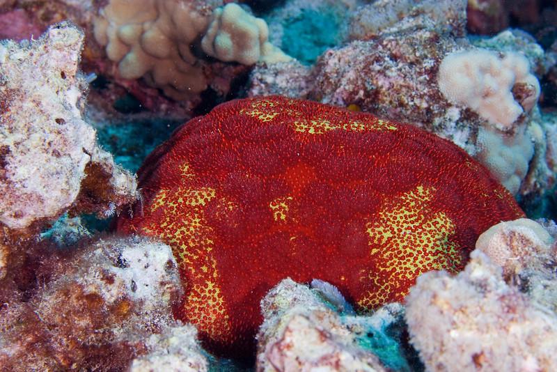 Pincushion Starfish.jpg