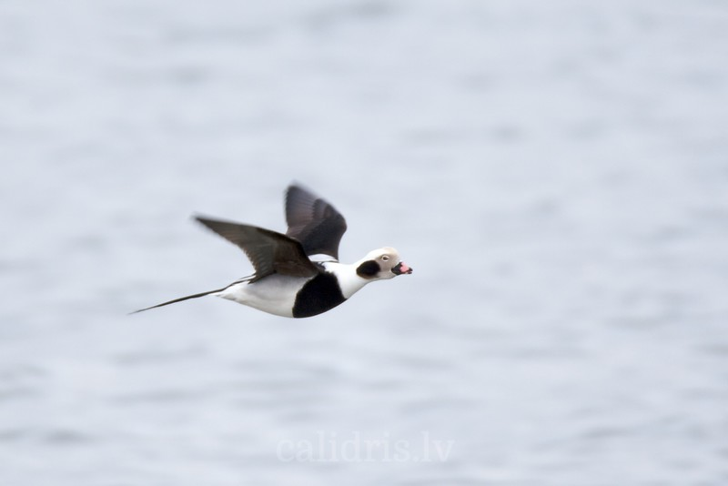 Long-tailed Duck in flight over a sea (ad. winter, male)