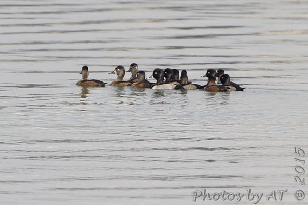 2015-10-22 and 24 Riverlands Migratory Bird Sanctuary