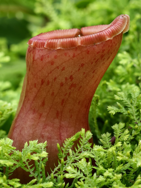 Tropical Pitcher Plant.jpg