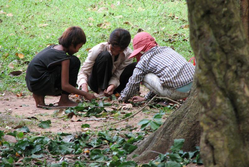 Near Angkor Wat - gathering quinine to sell at the market