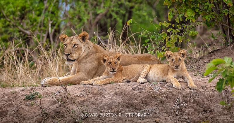 Bili_Lion-n-cubs_9276cc2fx-web.jpg