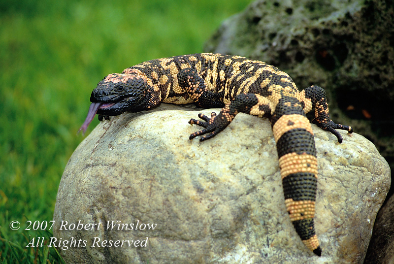 Reptiles - North and South America - Gila Monsters