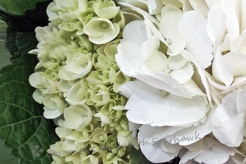 White Hydrangaes