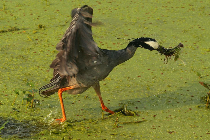 Second of 3 photos. The Heron seemed to shake and thrash the crawfish as he headed for dry land.