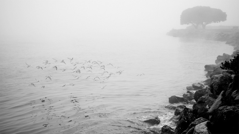 Shore birds in flight during a foggy morning at Alki beach