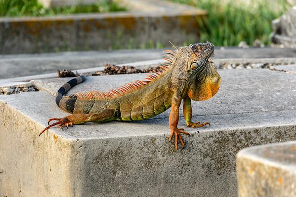 Key West Cemetery and Iguana