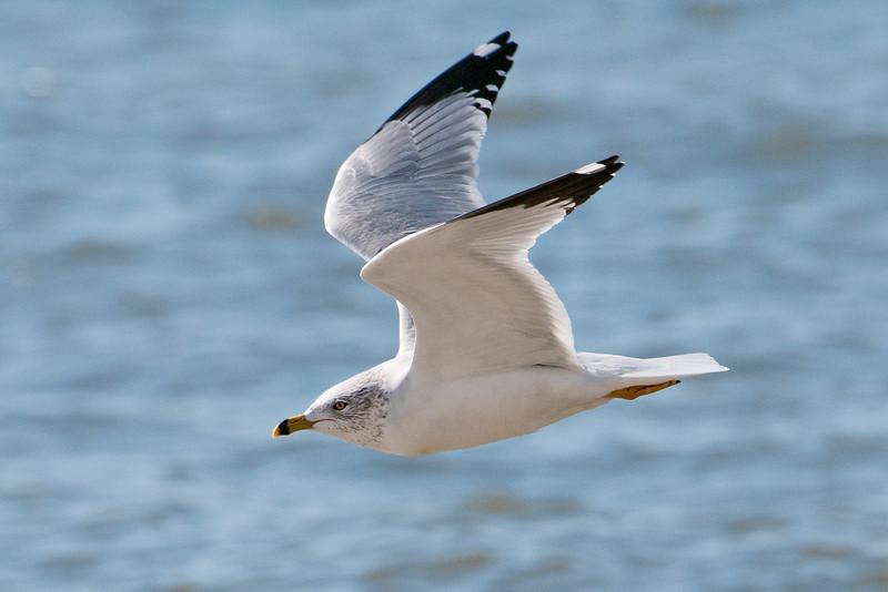 Gull - Ring-billed -  Mexico Beach, FL - 02