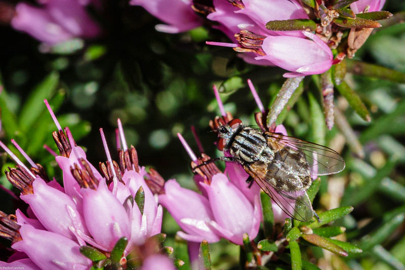 Sarcophaga Carnaria - Common Flesh Fly