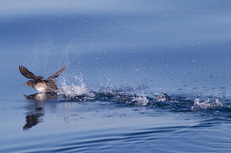 Rhinoserous Auklet   Orange County Waters  2014 01 11-1669.CR2