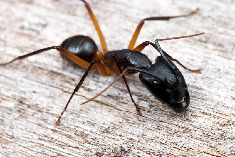 Camponotus novaehollandiae