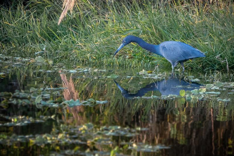 Little Blue Heron-101.jpg