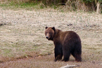 Spring Brown Bear May 2014, Cynthia Meyer, Chichagof Island, Alaska
