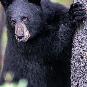 7-9-20 Black Bear KC