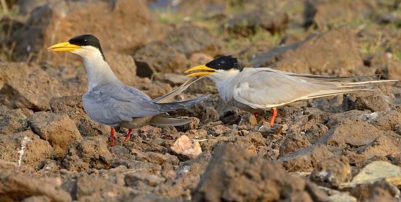 River-tern-pair.jpg