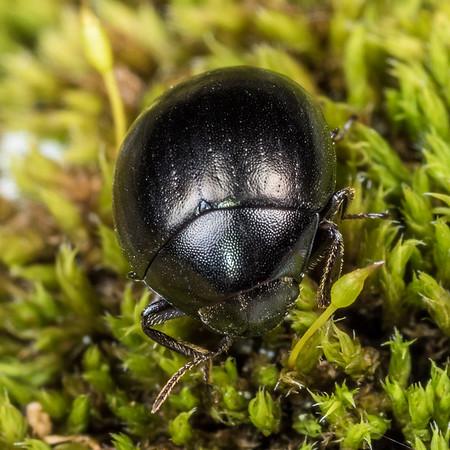 Moss beetles (Byrrhidae)