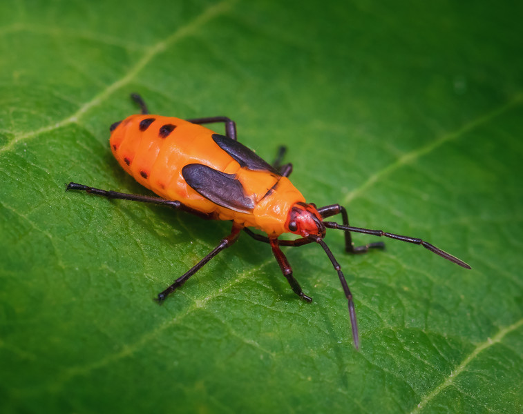 Large Milkweed Bug Nymph